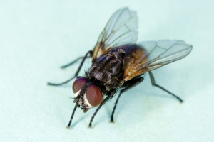 Common_house_fly,